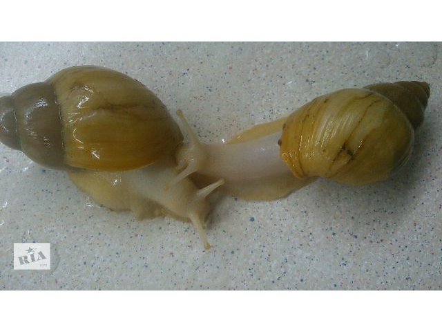 купить бу Ахатіна Іраделія – білосніжний равлик в жовтому панцирі – ваш домашній доктор в Киеве