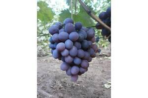 Черенки виноградной лозы
