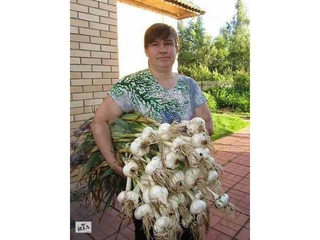 бу Чеснок-лук  РОКАМБОЛЬ : однозубка, зубки, головки, детки в Новгород-Северском