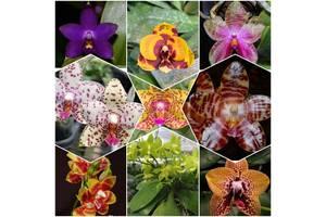 Фаленопсис підлітки орхідей азіати/сюрпризи