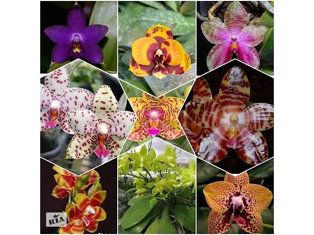 Фаленопсис подростки орхидей азиаты/сюрпризы- объявление о продаже  в Киеве