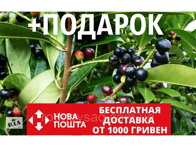 Лавровишня лекарственная семена (20 шт) (Prúnus laurocérasus) косточка для выращивания саженцев + подарок- объявление о продаже  в Андреевке