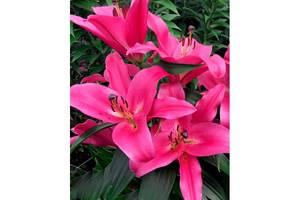 Лилия ОТ гибрид розовая