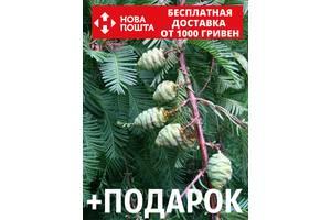 Метасеквойя глиптостробоидная семена (50 шт) Metasequoia glyptostroboides для саженцев + подарок