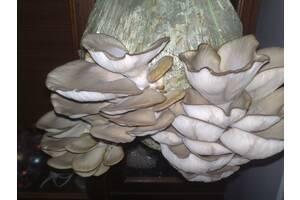 мицелий вешенки,шампиньона и других грибов