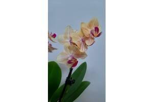 Орхідеї міні
