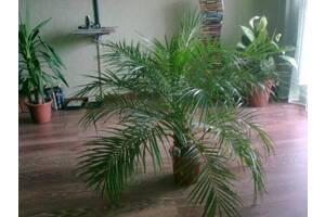 Пальма Хамедорея