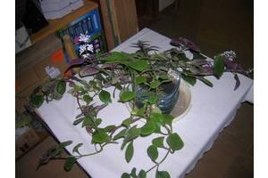 Перилла или буролистка-восточная мята, специя в салат от короновируса