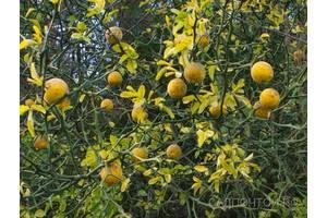 Понцирус трифолиата-дикий лимон в нашем саду