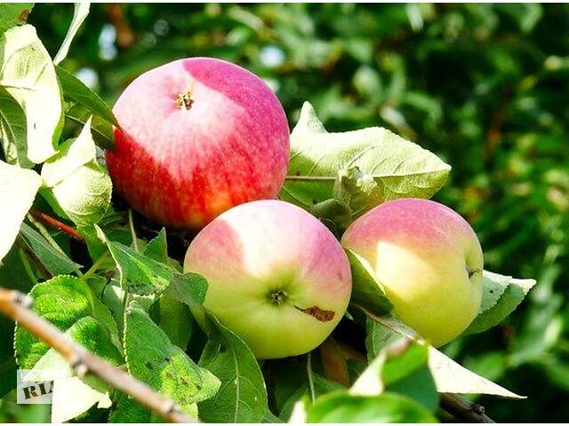 Реализация саженцев  плодово-ягодных культур