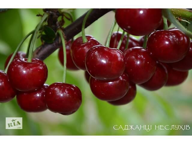 Саженцы вишни 7 сортов, саженцы вишни