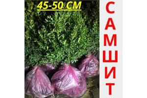 Самшит вечнозеленый  45-50 см