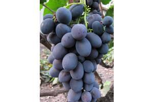 Саженец винограда Гала столовый сорт однолетнее