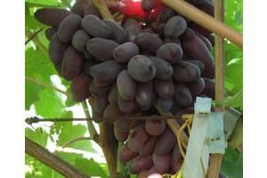 Саженцы винограда Карнавал