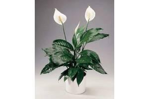 Спатифиллум комнатное и офисное растение