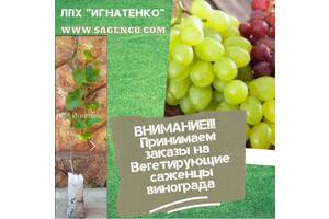 Вегетирующие саженцы винограда и ежевики