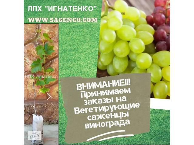 купить бу Вегетирующие саженцы винограда и ежевики  в Новой Каховке