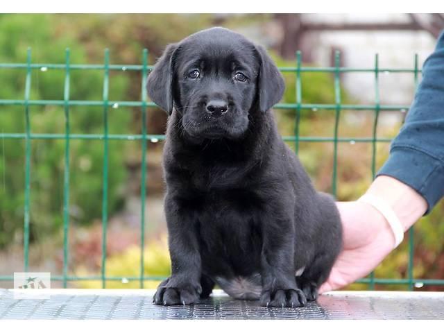 Алиментный щенок лабрадора- объявление о продаже  в Харькове