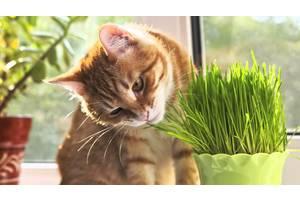 Трава для кішок