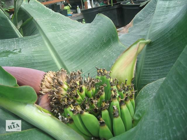 бу Банан комнатный плодоносящий в Хмельницком