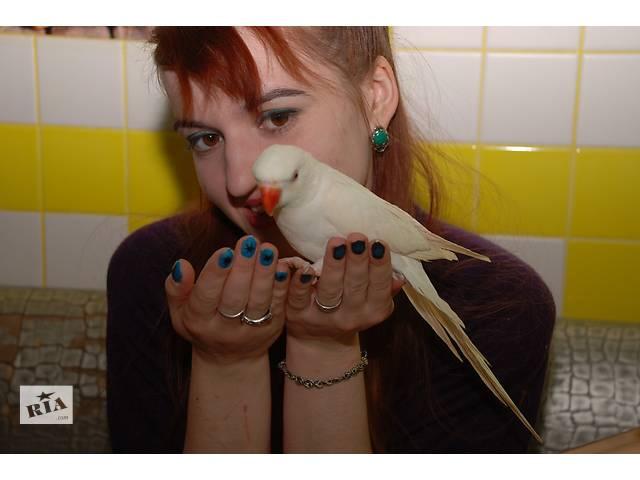Ожереловые попугаи - объявление о продаже  в Киеве