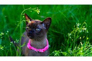 Бурманские кошки