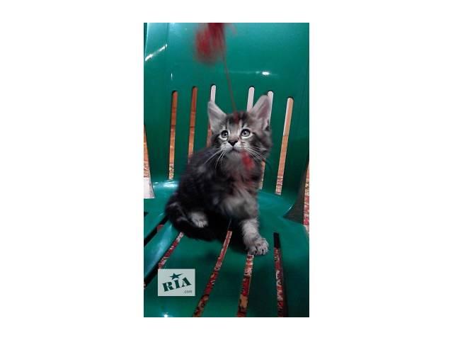 продам Чистокровные котята Мейн-Куны бу в Буче (Киевской обл.)
