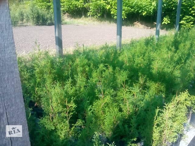 бу Декоративные растения для озеленения территории и помещений. в Сумах