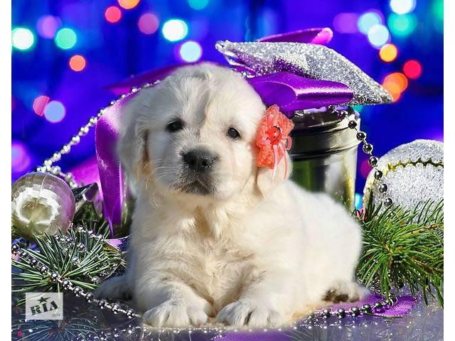 продам Девочка, красная ленточка, щенки золотистого голден ретривера от Мультичемпиона. бу в Киеве