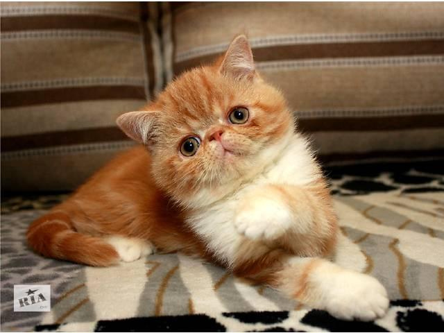 Экзотические короткошерстные чистокровные котята- объявление о продаже  в Киеве