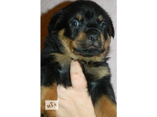 купить бу Элитные щенки ротвейлера в Днепре (Днепропетровск)