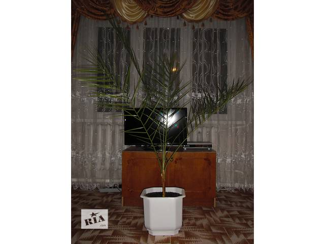 купить бу финиковая пальма 17 лет в Тальном