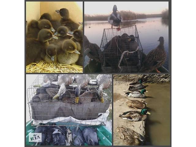 бу Крижень для полювання качки підсадні дикі живі (НЕ опудала, не манки) в Миколаєві