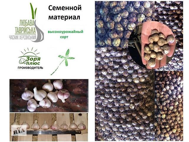 Посевной материал, семена чеснока от производителя - объявление о продаже  в Чаплинке
