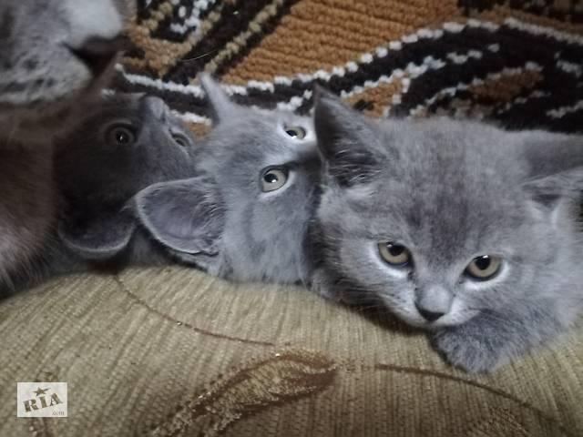 купить бу Продам котят британцев в Олешках (Цюрупинск)