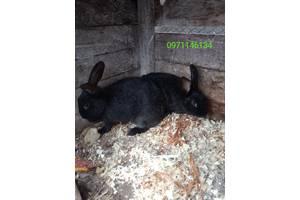 Продам кролів породи полтавське срібло