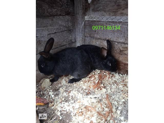 Продам кролів породи полтавське срібло- объявление о продаже  в Виннице