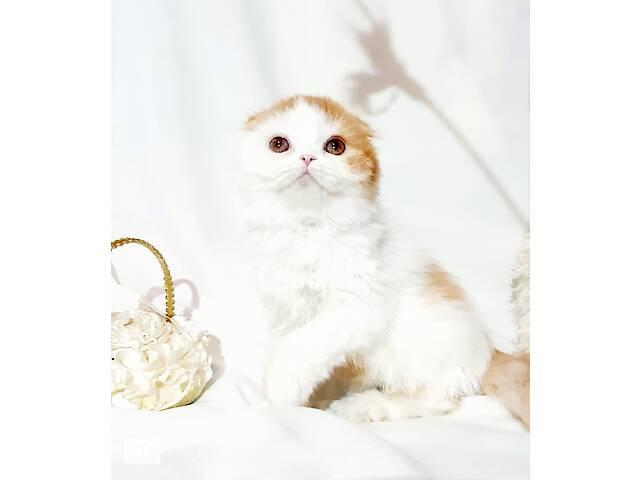 продам Вислоухий рыжий белый котенок бу в Днепре (Днепропетровск)