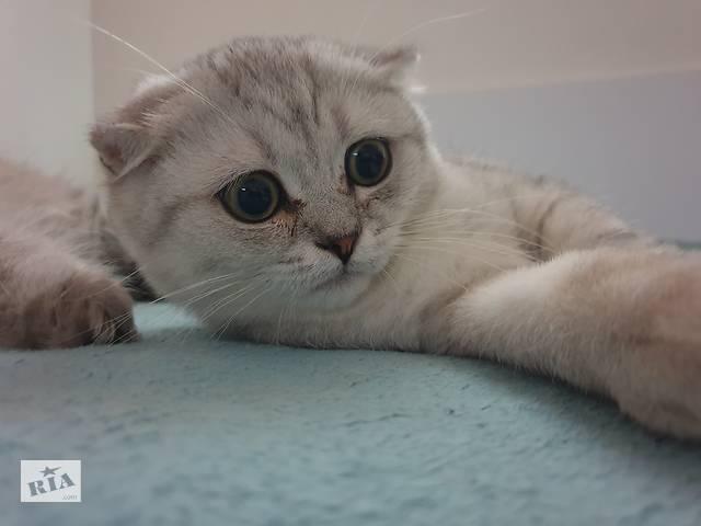 бу Шотландец в окрасе шиншилла,  обалденский кот в Одессе