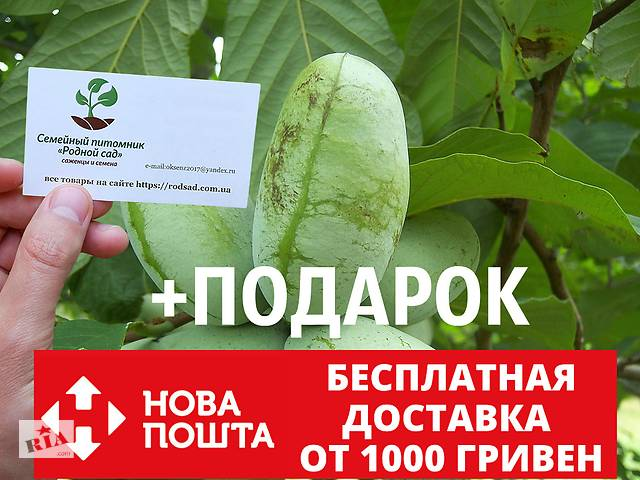продам Азимина семена (10шт)косточки, семечки для выращивания саженцев (мексиканский банан)насіння для саджанців бу в Андреевке