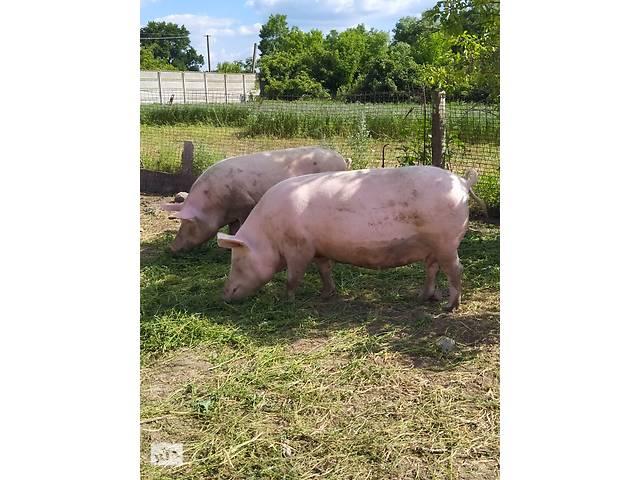 Поросні Свиноматки (Крупная белая / Ландрас (F1)+Дюрок- объявление о продаже  в Виннице