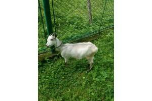 2 козочки віком 8 місяців від молочної, спокійної кози.