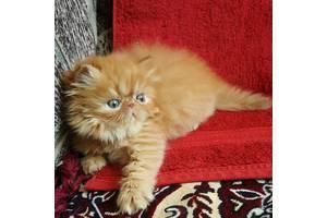 Персидские  малыши рыжики