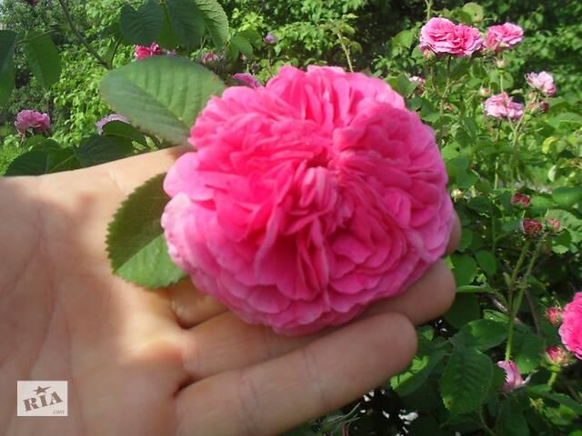 Чайная роза- объявление о продаже  в Днепре (Днепропетровск)