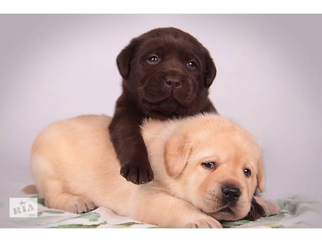 Породные щенки с интересным родословной. питомник- объявление о продаже  в Киеве