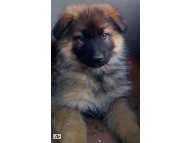 купить бу Продам щенков немецкой овчарки зонарного окраса  в Купянске