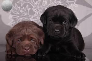 Породные щенки с интересным родословной. питомник