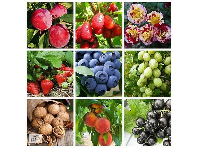 Саженцы элитных сортов плодово ягодных более 1500 сортов питомник. яблоня, персик,груша, слива, черешня, малина,голубика