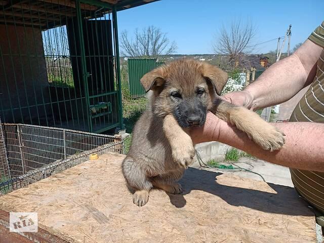 Продаются  щенки немецкой овчарки- объявление о продаже  в Киеве