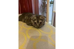 Милый шотландский котенок